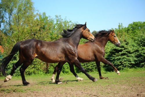 horse pony gallop