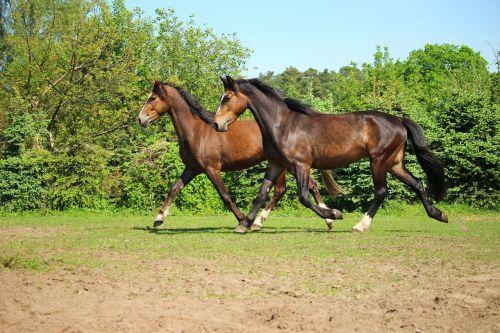 horse pony trot