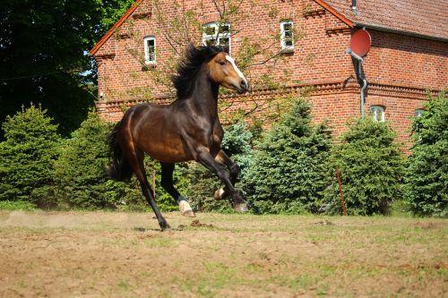horse gallop brown