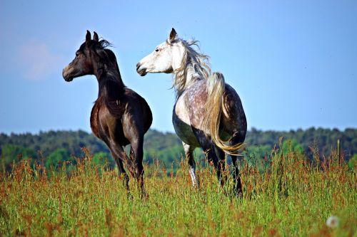 horse thoroughbred arabian mold