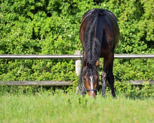 horse browse grass