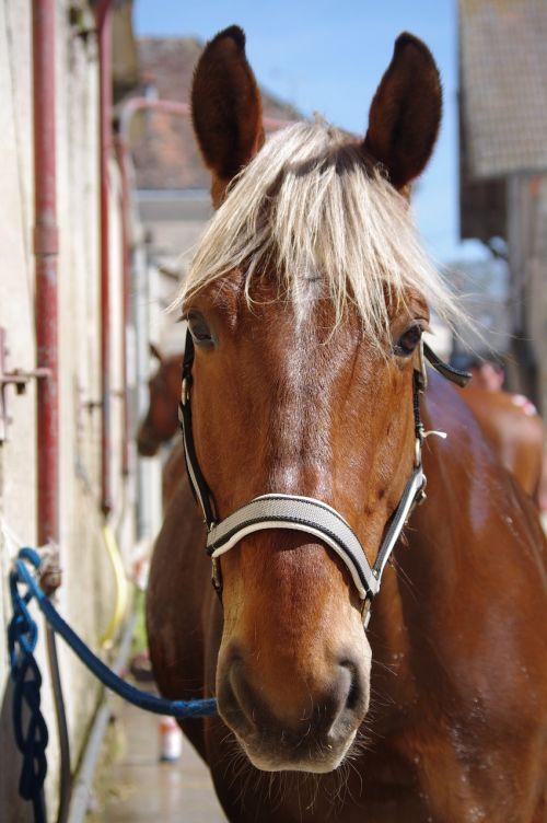 horse comtois shower