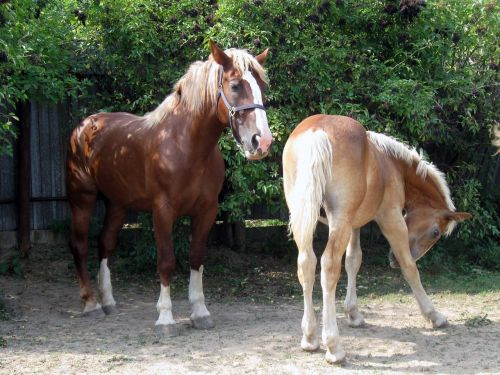 horse mare a foal