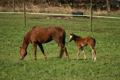 horse foal colt