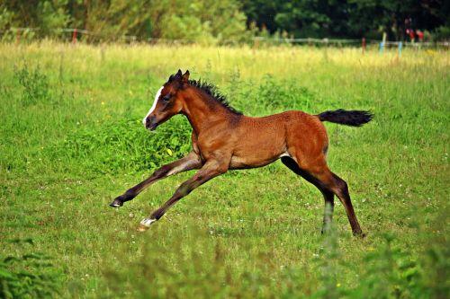 horse gallop foal