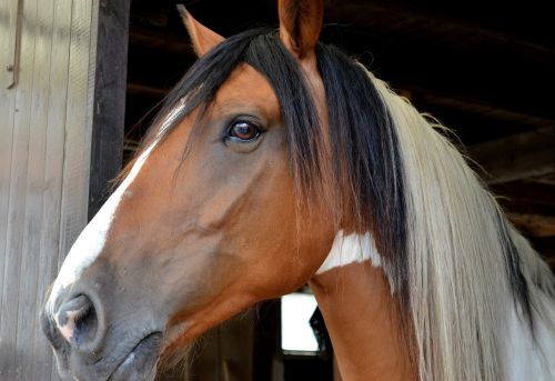 horse pferdeportrait andalusian quater horse
