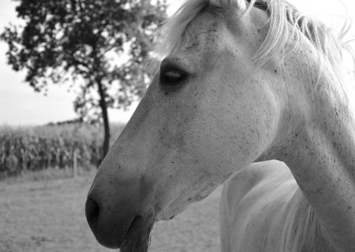 horse profile head eye