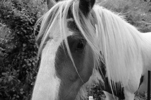 horse photo black white equine