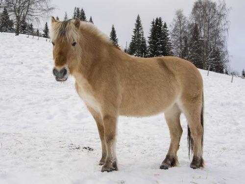 arklys,norvegų,fjordas arklys,žiema,sniegas,fjordas nė vienas,nacionalinės arklių lenktynės,Norvegija