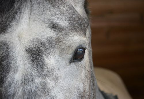horse eye eye brown muzzle