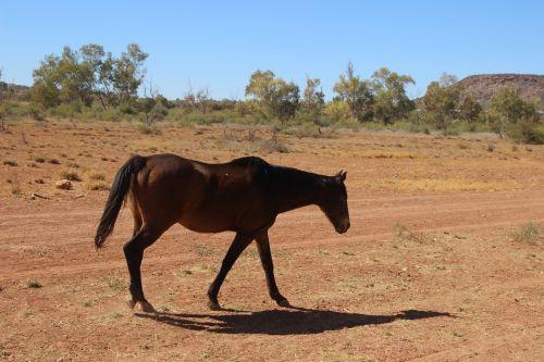 horse equine australian brumby