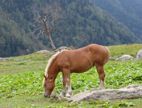 horse pacer prado