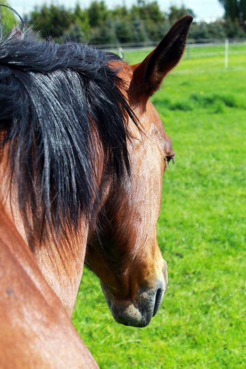 horse horse head pferdeportrait