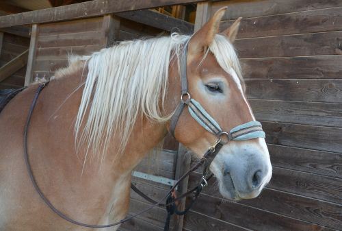 horse profile mane