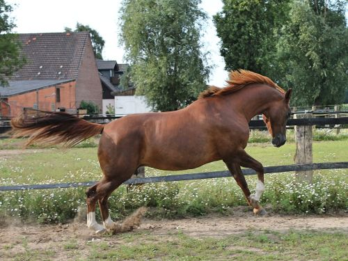 horse warmblut paddock