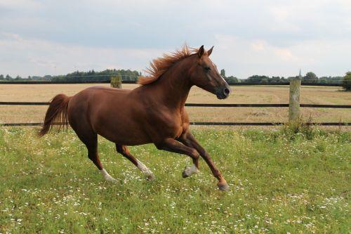 horse gallops pasture