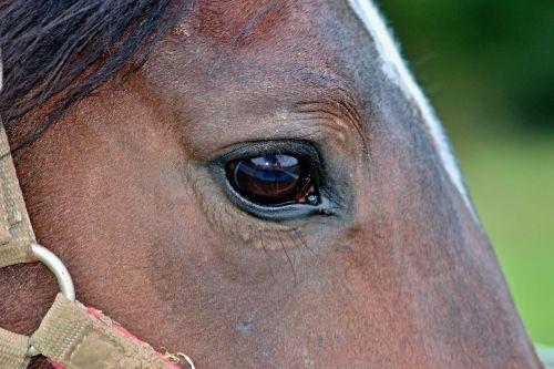 horse eye halter