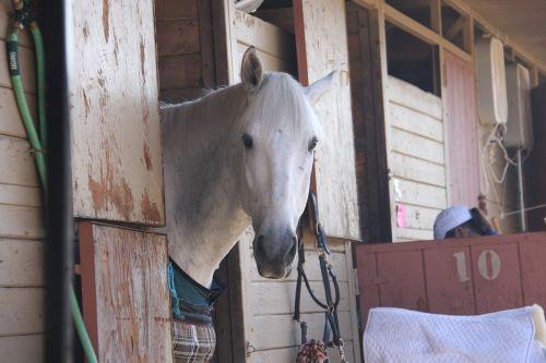horse horse show stable white stallion