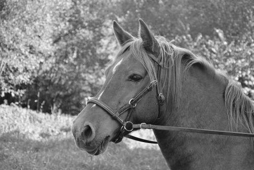 horse head horse profile photo black white