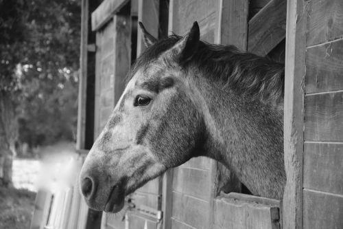 horse photo black white head profile