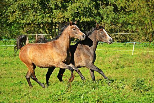 horse thoroughbred arabian gallop