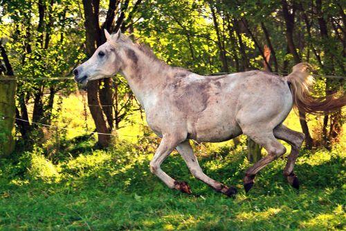 horse gallop arabs