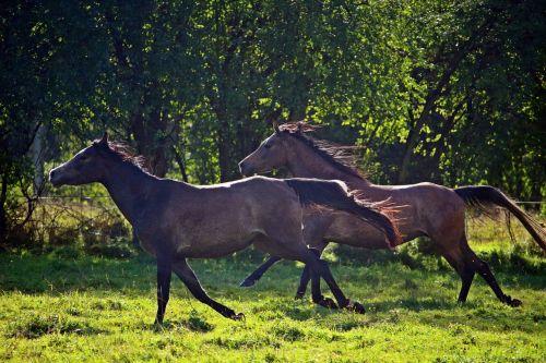 horse arabs thoroughbred arabian