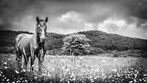 horse meadow black and white