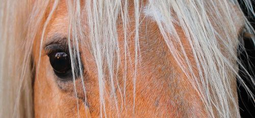 horse equine stallion