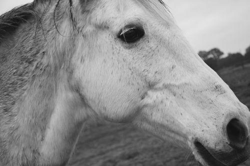 horse profile horse head profile