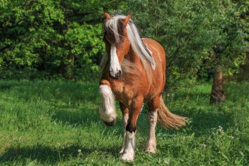 horse trick kaltblut