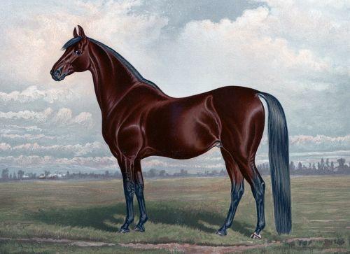 horse chestnut thoroughbred