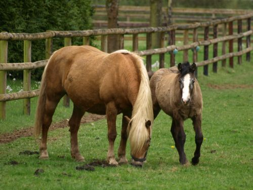 horse mare with foal foal