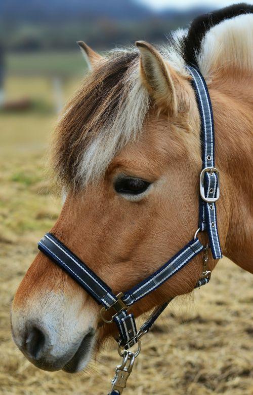arklys, norvegų fjordas arklys, arklio galva, ganykla, ponis, fjordas arklys, kankinti, kalnas, jungtis, gyvūnas, gyvūnų portretas, žinduolis, be honoraro mokesčio