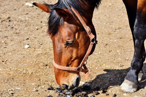 horse stallion horse head