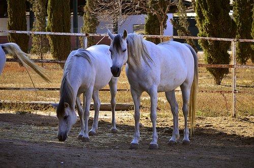horse  white horse  arabian horses