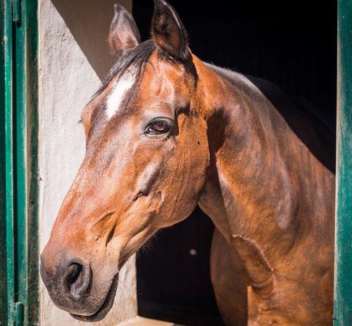 horse  stall  horse head