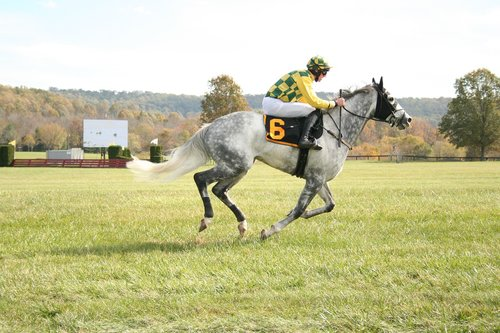 horse  grey  animal