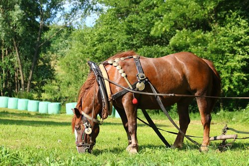 horse  animal  harness