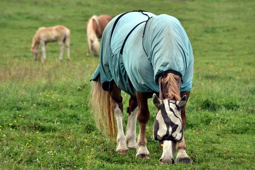 horse  horse blanket  protection
