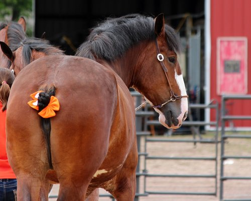 horse  draft  animal