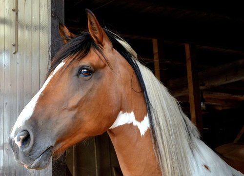 horse  andalusian quater horse  animal portraits