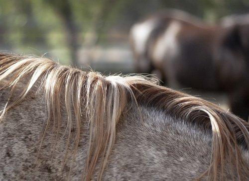 horse  mane  equine