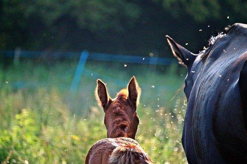 horse  foal  pasture