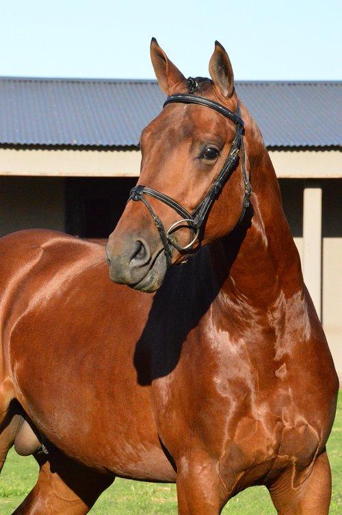 horse  animals  equestrian