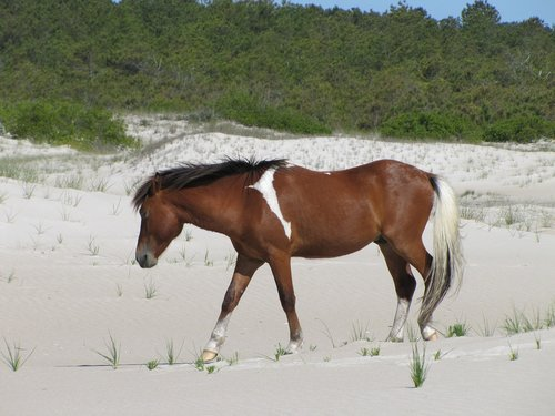 horse  wild  assateague island