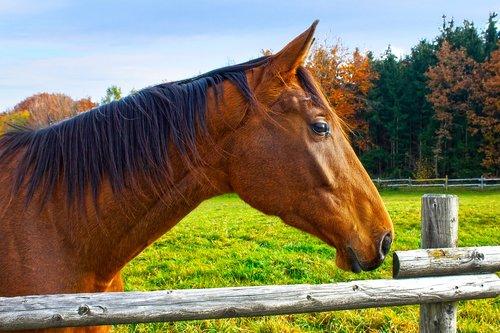 horse  brown  fuchs
