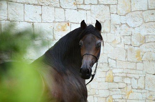 horse  equine  head