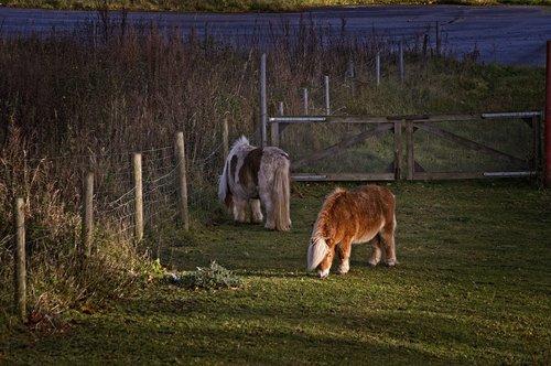 horse  horses  pony