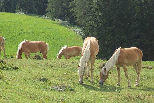 horse  horses  alpine